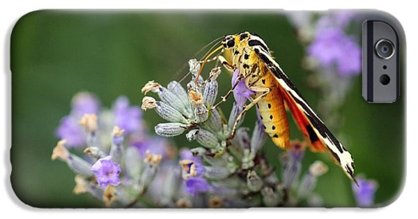 Eating Entomology iPhone Cases - Jersey Tiger Moth On Lavender Flowers iPhone Case by Colin Varndell