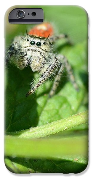 Jumping Spiders iPhone Cases - Jumping Jack Is Back iPhone Case by Fraida Gutovich