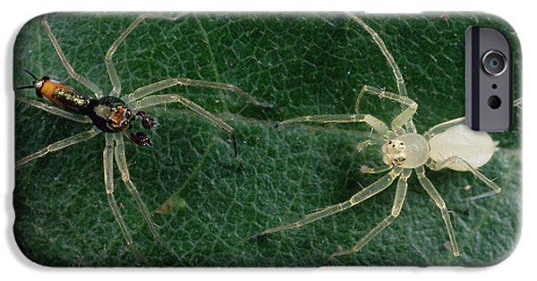 Wildlife Celebration iPhone Cases - Jumping Spider Colorful Male And Pale iPhone Case by Mark Moffett