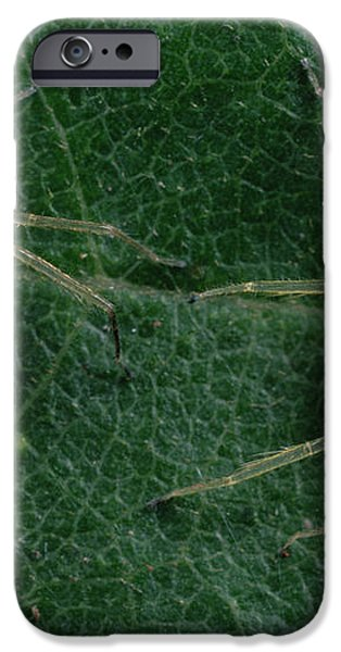Jumping Spider Colorful Male And Pale iPhone Case by Mark Moffett