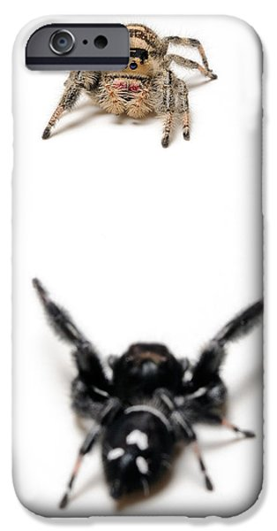 Jumping Spiders iPhone Cases - Jumping Spider Courtship iPhone Case by Scott Linstead