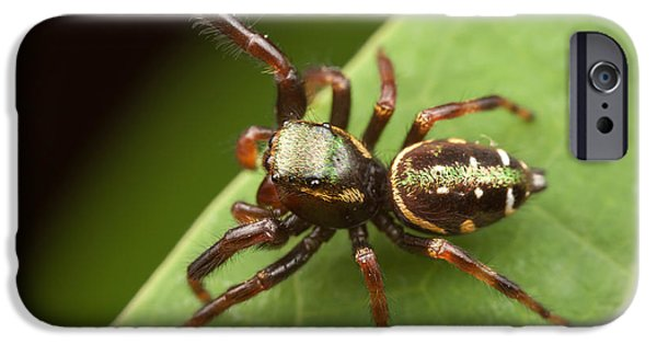 Jumping Spiders iPhone Cases - Jumping Spider Paraphidippus aurantius I iPhone Case by Clarence Holmes