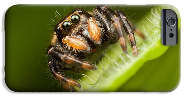 Jumping Spiders iPhone Cases - Jumping Spider Phidippus clarus I iPhone Case by Clarence Holmes
