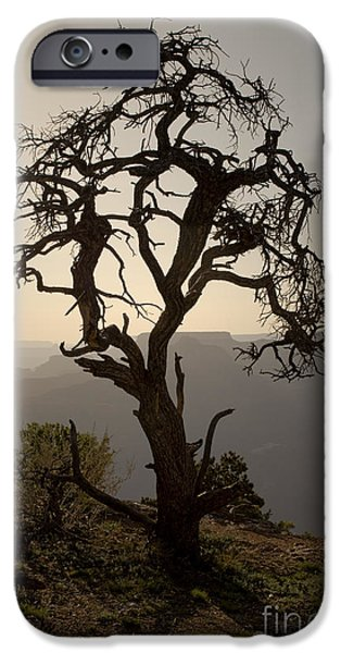 Juniper Tree at Grand Canyon iPhone Case by David Gordon