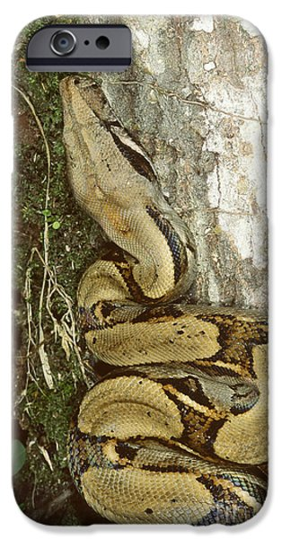 Boa Constrictor iPhone Cases - Juvenile Boa Constrictor iPhone Case by Gregory G. Dimijian, M.D.
