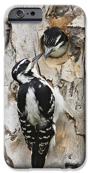 Hairy Woodpecker iPhone Cases - Juvenile Hairy Woodpecker Is Fed iPhone Case by Ray Bulson