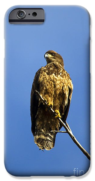 Juveniles iPhone Cases - Juvenile Perch iPhone Case by Mike  Dawson