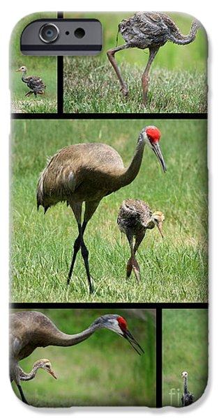 Baby Bird iPhone Cases - Juvenile Sandhill Crane Collage iPhone Case by Carol Groenen
