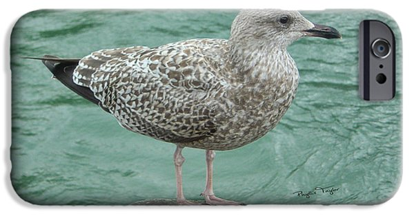 Young iPhone Cases - Juvenile Seagull iPhone Case by Phyllis Taylor