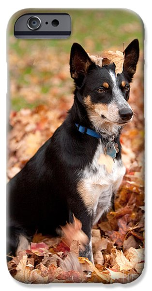 Owner Photographs iPhone Cases - Kelpie Australian sheep dog in Fall iPhone Case by Iris Richardson