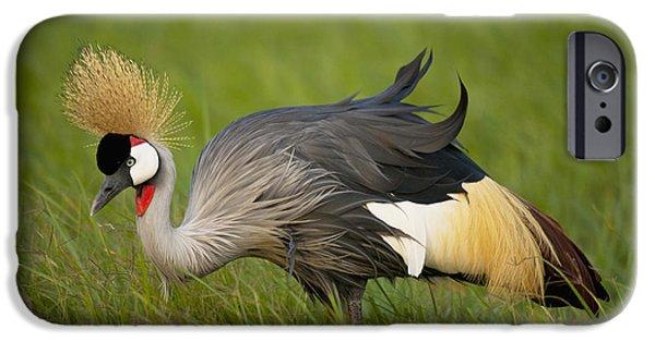 Simple Beauty In Colors iPhone Cases - Kenya, Grey Crowned Crane In Ol Pejeta iPhone Case by Ian Cumming