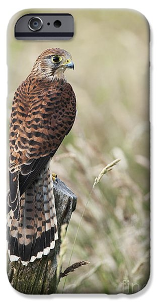 Fauna iPhone Cases - Kestrel iPhone Case by Tim Gainey