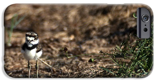 Birds iPhone Cases - Killdeer Chick iPhone Case by Skip Willits