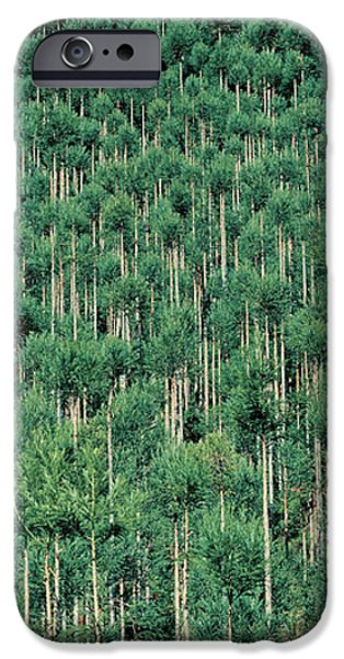 Tall Trees iPhone Cases - Kitayama Cedar Trees Kyoto Japan iPhone Case by Panoramic Images