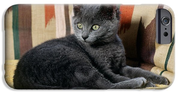 Domestic Short Hair Cat iPhone Cases - Kitten iPhone Case by James L. Amos