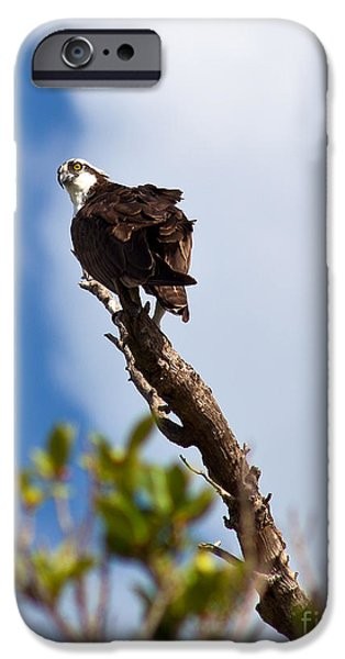Michelle iPhone Cases - Koko The Osprey iPhone Case by Michelle Wiarda