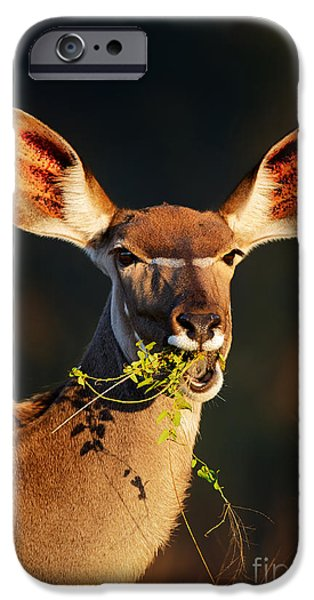 One Animal iPhone Cases - Kudu portrait eating green leaves iPhone Case by Johan Swanepoel