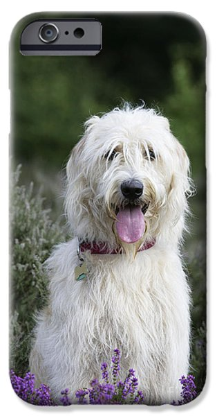 Mixed Labrador Retriever iPhone Cases - Labradoodle Dog iPhone Case by John Daniels