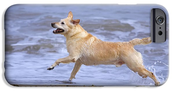 Mixed Labrador Retriever iPhone Cases - Labrador Cross Dog Running iPhone Case by Geoff du Feu