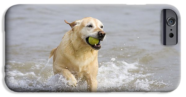 Mixed Labrador Retriever iPhone Cases - Labrador-mix Retrieving Ball iPhone Case by Geoff du Feu