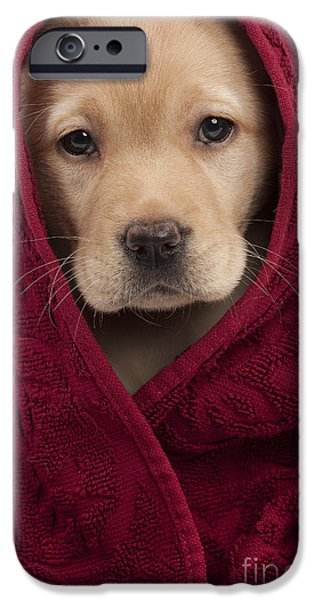 Pet Care iPhone Cases - Labrador Puppy In Towel iPhone Case by Jean-Michel Labat