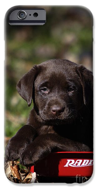 Chocolate Lab iPhone Cases - Labrador Puppy iPhone Case by Linda Freshwaters Arndt