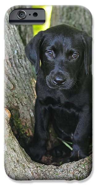 Black Dog iPhone Cases - Labrador Retriever Puppy iPhone Case by Catherine Reusch  Daley