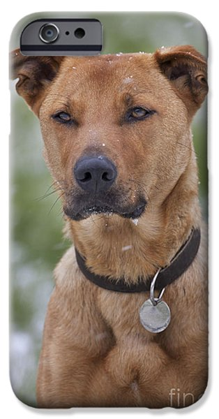 Mixed Labrador Retriever iPhone Cases - Labradormalinois Mix iPhone Case by Johan De Meester