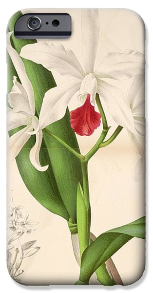 Dentist Drawings iPhone Cases - Laelia Elegans iPhone Case by Philip Ralley