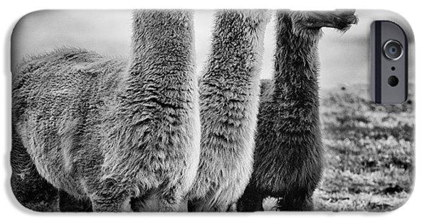 Llama iPhone Cases - Lama lineup iPhone Case by John Farnan