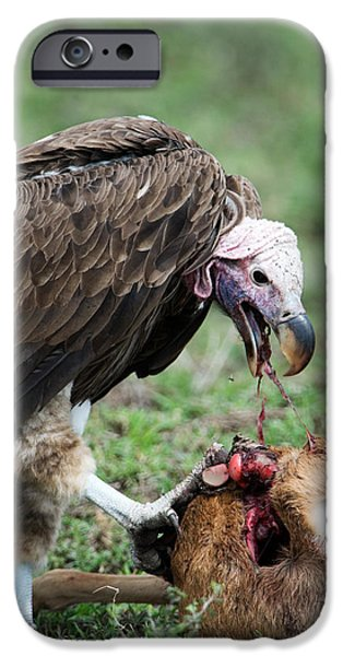 Masai Mara Photographs iPhone Cases - Lappet-faced Vulture Torgos iPhone Case by Panoramic Images