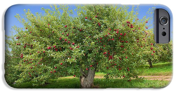 Apple Orchard iPhone Cases - Large Apple Tree iPhone Case by Anthony Sacco