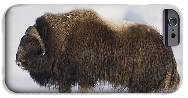 Snowy Day iPhone Cases - Large Bull Musk-ox Walking On The Snowy iPhone Case by Milo Burcham