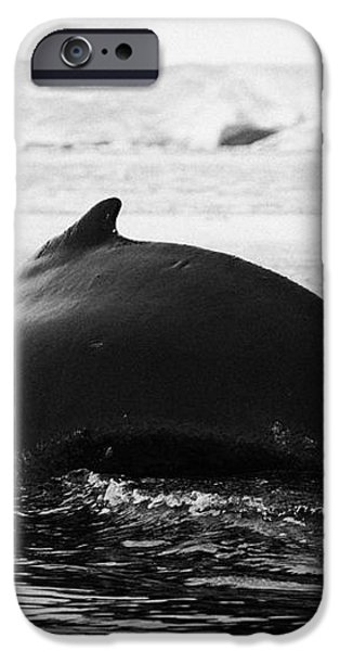 large male Humpback whale with arched back diving in Wilhelmina Bay Antarctica iPhone Case by Joe Fox