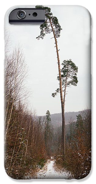 Large trees in the nature park in winter iPhone Case by Matthias Hauser