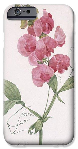 Botanical iPhone Cases - Lathyrus Latifolius Everlasting Pea iPhone Case by Pierre Joseph Redoute