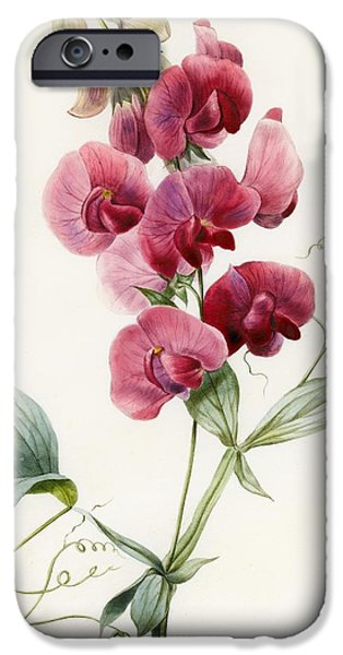 Flora Drawings iPhone Cases - Lathyrus latifolius Everlasting Pea iPhone Case by Louise D Orleans