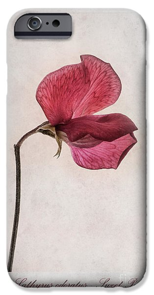Sweet Digital iPhone Cases - Lathyrus odoratus - Sweet Pea iPhone Case by John Edwards