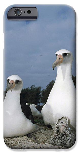 Baby Bird iPhone Cases - Laysan Albatross Parents Exchanging iPhone Case by Tui De Roy