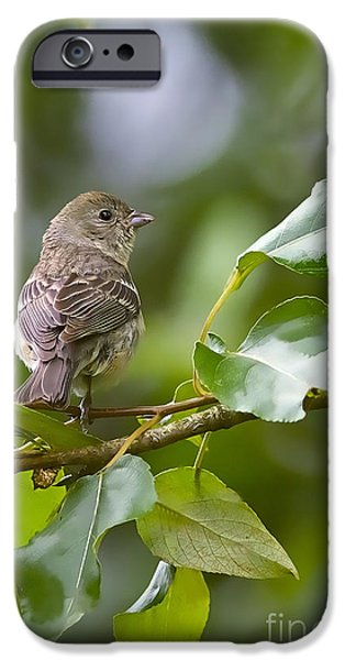 Bunting iPhone Cases - Lazuli Bunting female 2 iPhone Case by Sharon  Talson
