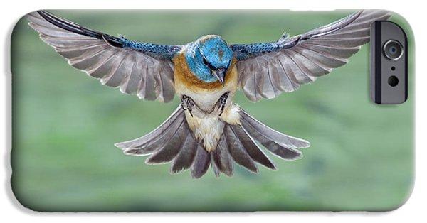 Us Wildllife iPhone Cases - Lazuli Bunting In Flight iPhone Case by Anthony Mercieca