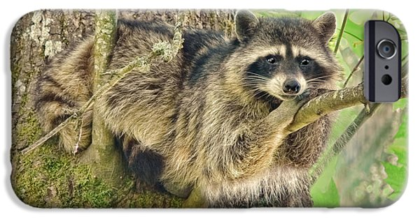Raccoon iPhone Cases - Lazy Day Raccoon iPhone Case by Jennie Marie Schell