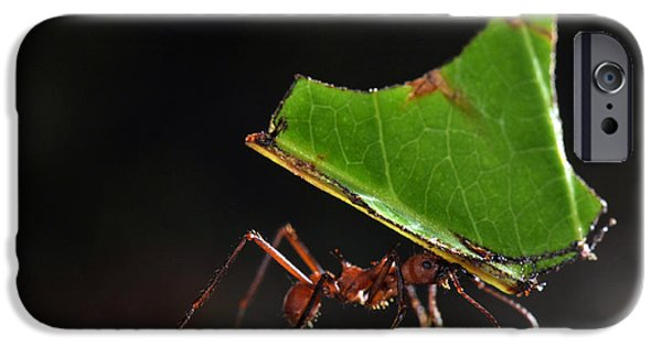 Ant iPhone Cases - Leafcutter Ant iPhone Case by Francesco Tomasinelli
