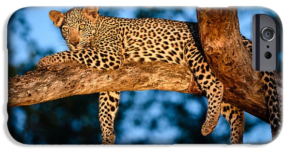 Predator Pyrography iPhone Cases - Leopard in marula tree iPhone Case by Andrew Chislett