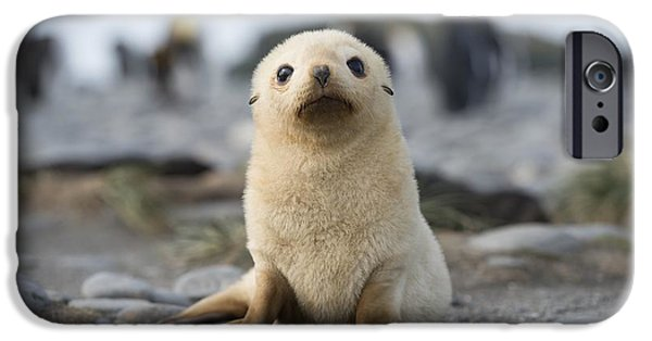 Disorder iPhone Cases - Leucistic Fur Seal Pup iPhone Case by Dr P. Marazzi