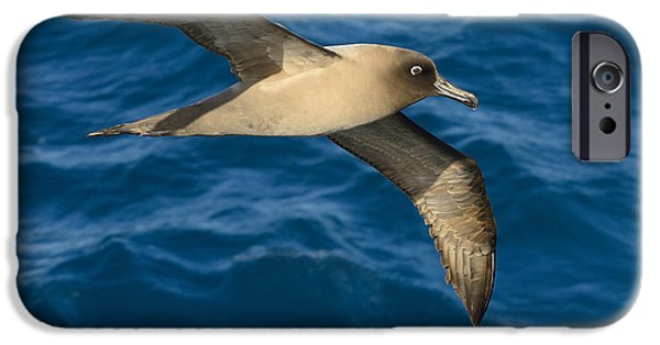 Albatross iPhone Cases - Light-mantled Sooty Albatross iPhone Case by Tony Beck