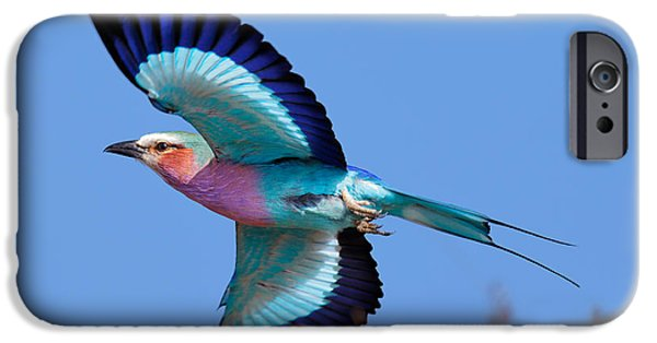 One Animal iPhone Cases - Lilac-breasted Roller in flight iPhone Case by Johan Swanepoel