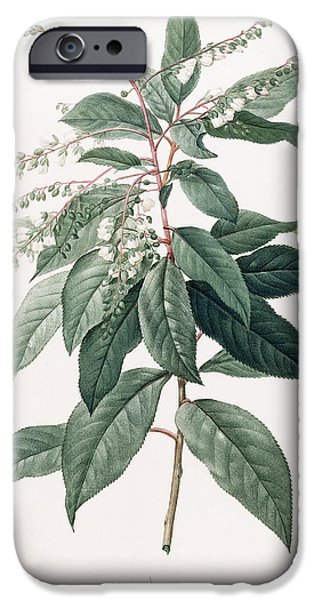 Florals iPhone Cases - Lily of the Valley Tree iPhone Case by Pierre Joseph Redoute