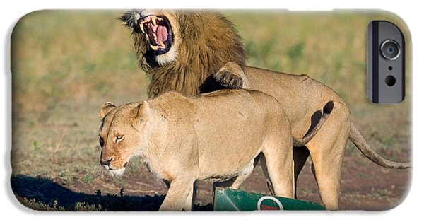 Wild Animals iPhone Cases - Lion And A Lioness Mating, Ngorongoro iPhone Case by Panoramic Images