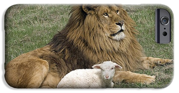 Innocence iPhone Cases - Lion and Lamb iPhone Case by Wildlife Fine Art